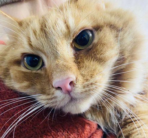 Подарю рыжего кота