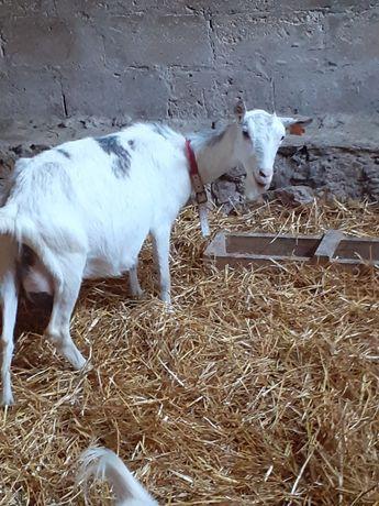 Sprzedam koze mleczną