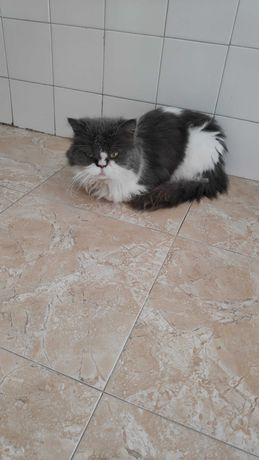 Gato persa com 3 anos