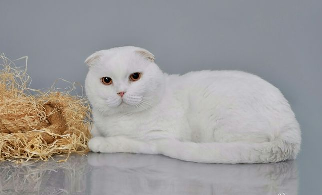 Белый кот скоттиш-фолд приглашает на вязку.