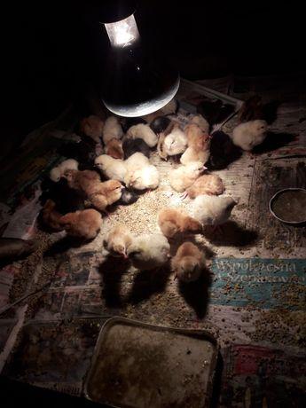Kurczaki 3dniowe z własnych lęgow