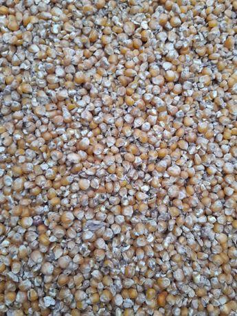 Kukurydza ziarno sucha