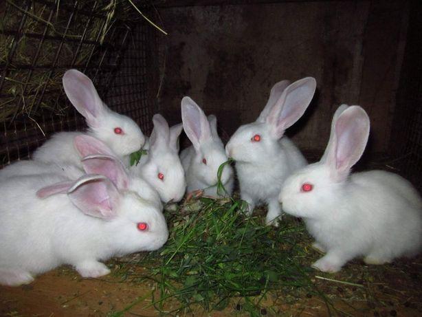 Молодняк кролів різного віку породи білий велетень, шиншила.