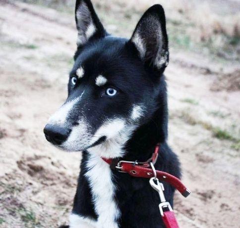 Пёс 8 месяцев. Метис Хаски собака, собачка щенок