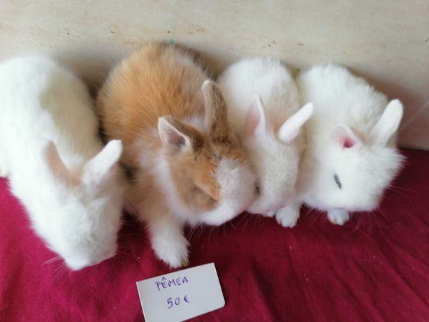 Vendo kit completo coelhos anões mini holandês toy angorá teddy bilier