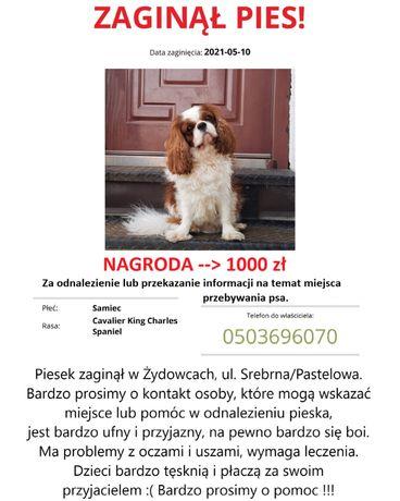 Zaginął pies,Cavalier,Spaniel.NAGRODA 1000 zł.