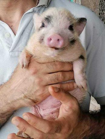 Porco anão  ou Mini pigs