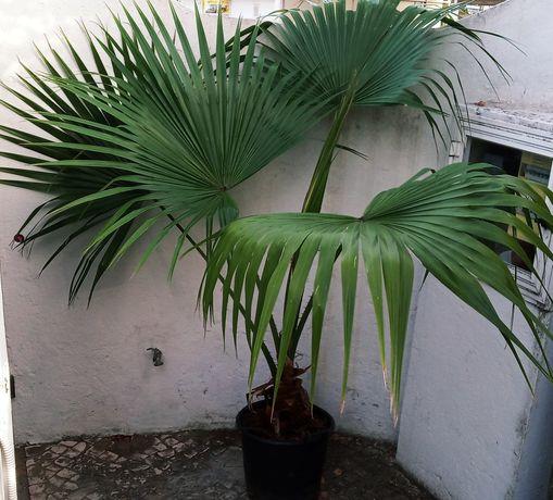 Palmeira leque da china, Livistona chinensis, com 1,4 mt