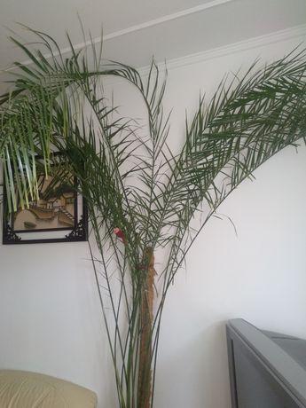 Продам пальму фінікову
