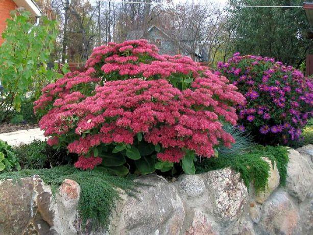 Саженцы саджанці сажанцы садовые растения цветы альпийская горка