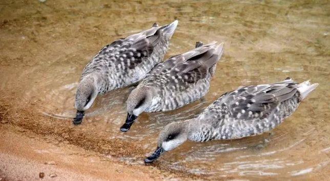 Kaczki  ozdobne   MARMURKI