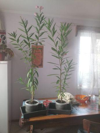 Дві рослини-Олеандри