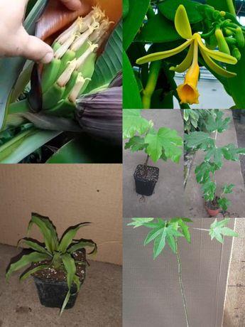 Экзотические сортовые  растения. Саженцы. Эвкалипт, банан, лавр и др.