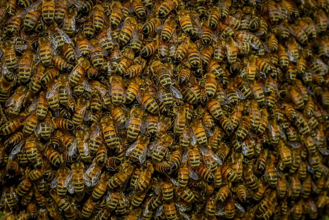 Пчелопакеты Семьи Отводки бжолопакети бджоли