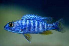 Pyszczak -  scianochromis frieri 4-5cm- wysyłam