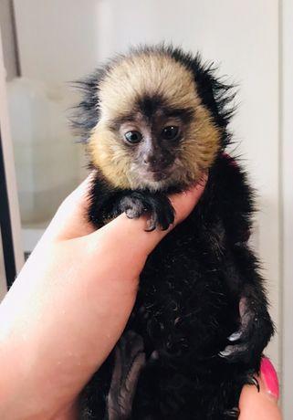Мини обезьяна игрунка Жоффруа.Миниатюр-обезьянка.Питомник Джунглипарк