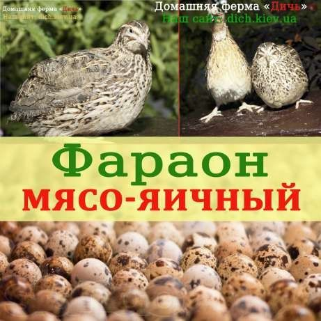 Инкубационные яйца перепелов породы Фараон (Испания+Франция)