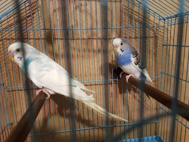 2 попугая , пара волнистых