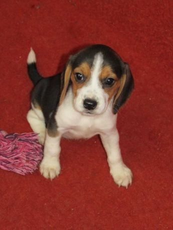 Beagle Tricolor LOP/Pedigree/Afixo