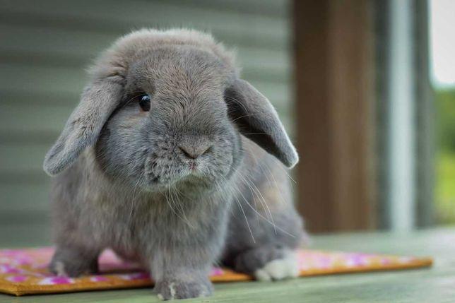 KIT completo coelhos anões mini Lop(orelhudos) lindíssimos