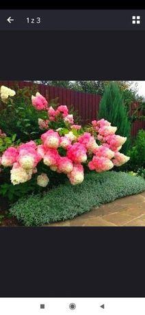 Nasiona HORTENSJA BUKIETOWA bylina waniliowo-truskawkowa 20szt