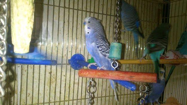Волнистый выставочный чех, попугаи для разговора