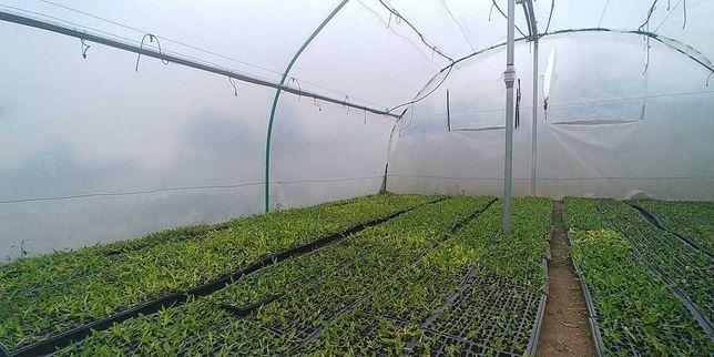 Plantação em qualquer altura do ano - grama brasileira oportunidade