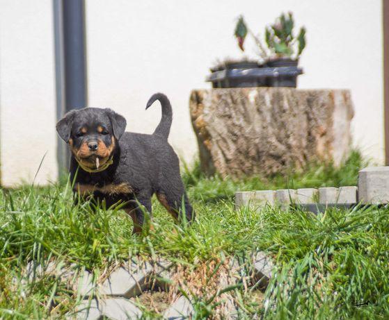 Rottweiler pies /samiec ZKwP /FCI