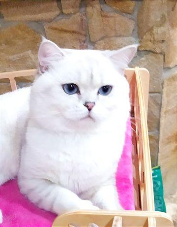 Кот шиншилла поинт вязка