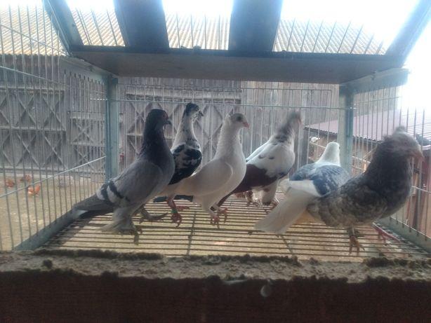 Gołębie ozdobne redukcja