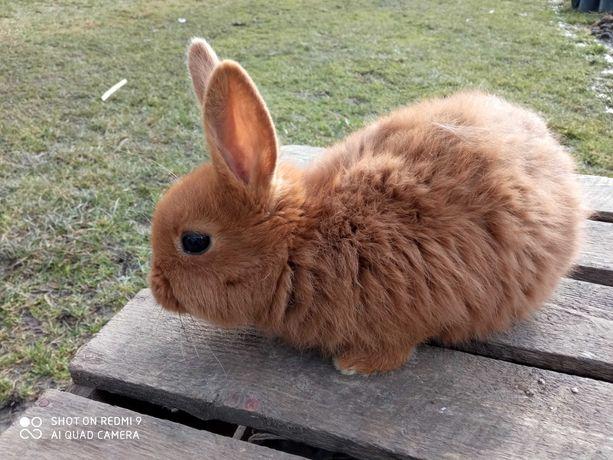 Młode króliki nowozelandzkie