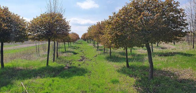 Саджанці декоративних дерев та кущів.