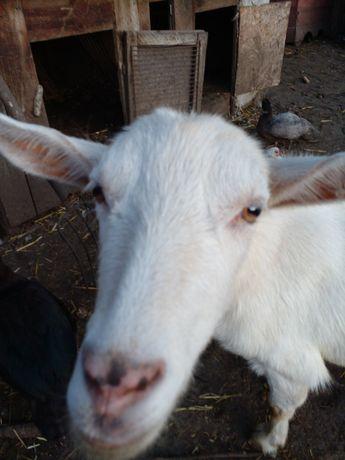 Продам козу первитку.