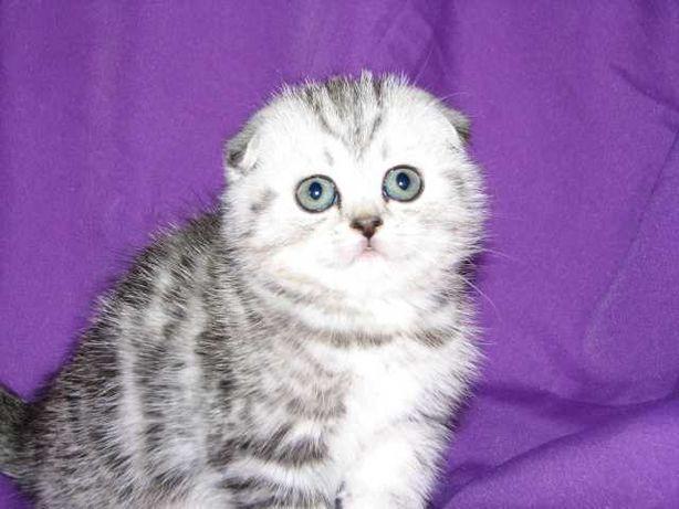 Продам чумачедче красивых котят