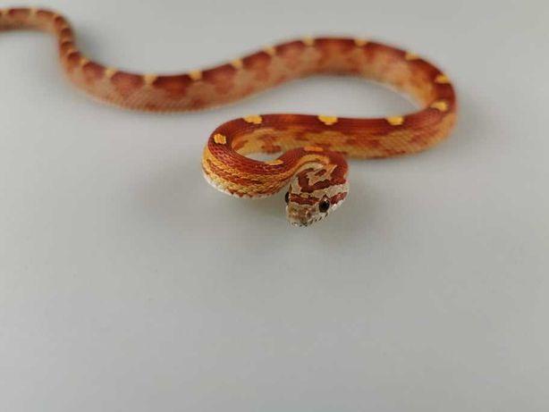 Phanteropis guttatus Wąż zbożowy Z7 Motley het ultra bloodred caram...