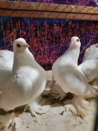 Продам статных голубей