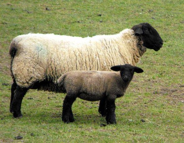 Owce suffolk / wrzosowki
