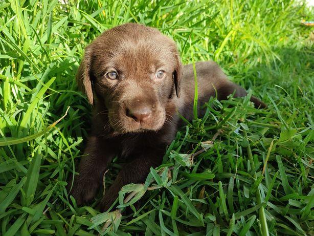 Labrador Chocolate fêmea de excelente caracter - Magnifica