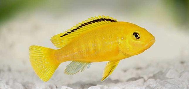 Labidochromis carelulelus