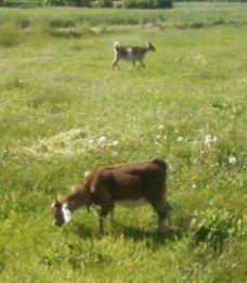 Англо-Нубийские %+Зааненская козы 3-5мес.козочка козлик выбор
