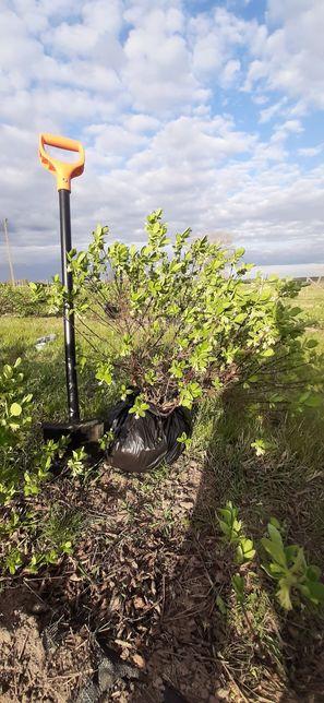 Jagoda kamczacka bardzo duże krzewy owocujące