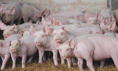 Свині. Поросята.