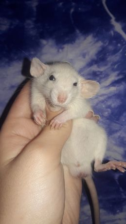 Крысята дамбо крыски дамбоушки