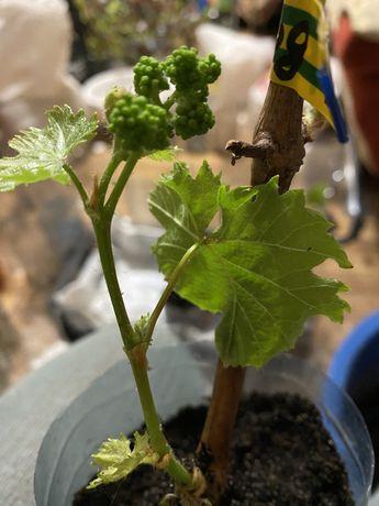 Саджанці винограду Хмельницький. 33 сорти. Виноградные саженцы.