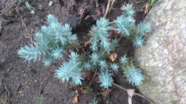 Rozchodnik  ościsty - roślina skalna