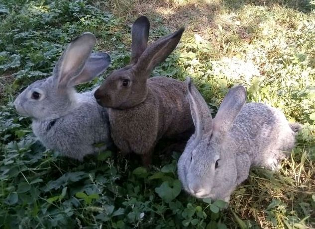 Кролики на расплод