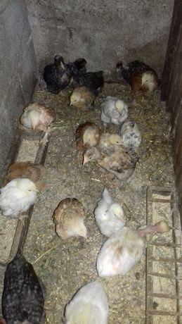 ovos pintos sussex light e outros