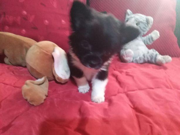 Chihuahua chlopiec