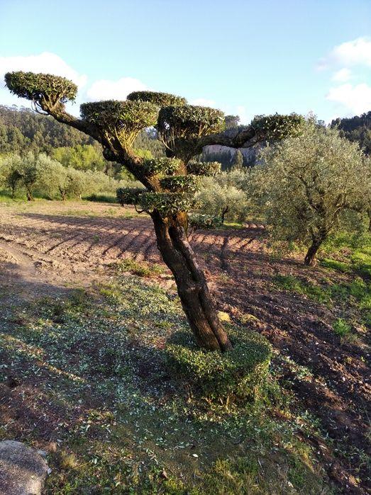 Oliveira de jardim (centenária) Colmeias E Memória - imagem 1