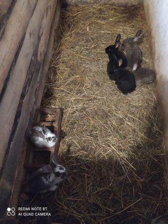 Sprzedam króliki ostatnie 6 sztuk